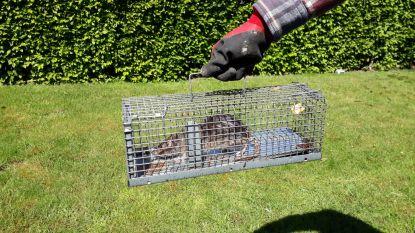 Rattenvanger pakt plaag in Watertorenstraat aan