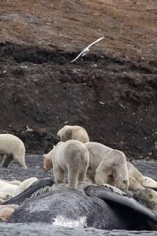 Enorm ijsberenleger verrast toeristen