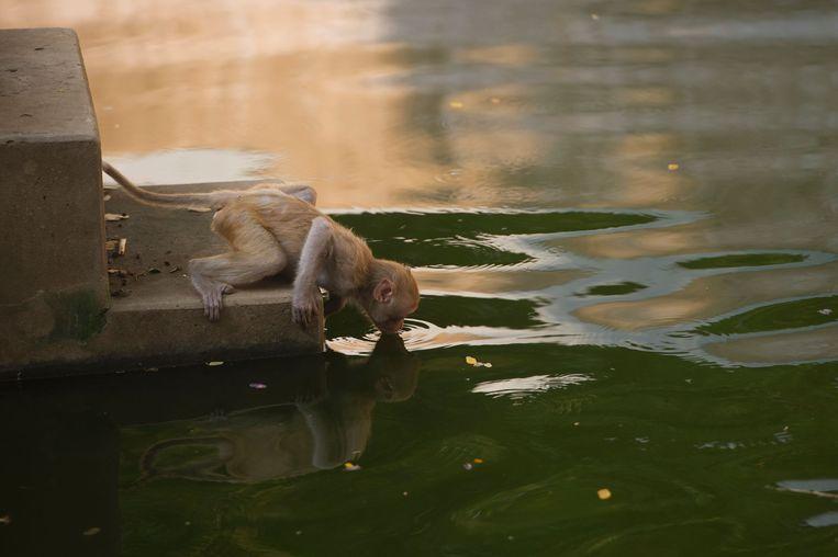 Een aapje drinkt water in de dierentuin in Yangon in de zomer. Beeld null