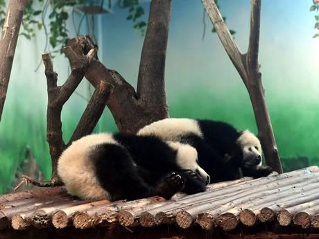 Chinezen woedend over 'mishandeling' panda's