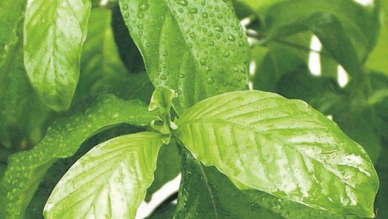 De werkzame stof van ayahuasca komt uit de Psychotria viridis. Beeld