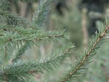 Veluwse kwekers delen hun geheim: zo blijft jouw kerstboom een maand mooi