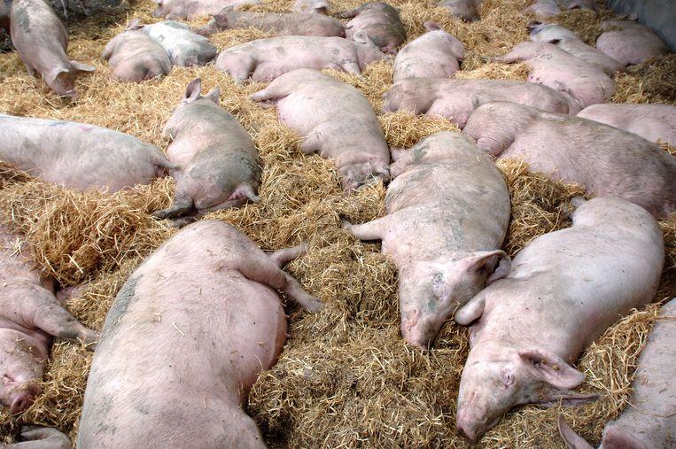 Biologische varkens Beeld Marcel van den Bergh