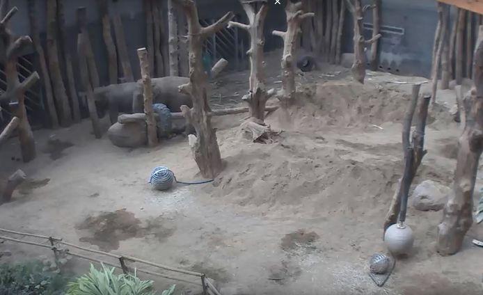 Oma-olifant en hoofd van de kudde Warwar en Indra staan bij de dode olifant Yunha in DierenPark Amersfoort.
