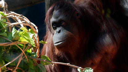 Na 25 jaar gevangenschap in Argentijns dierenpark kan orang-oetan met rechten eindelijk verhuizen