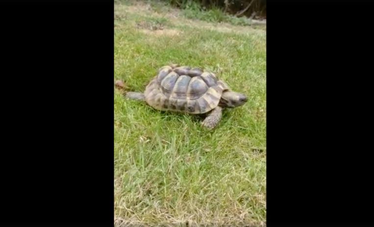 De schildpad die in de Donkerstraat werd aangetroffen.