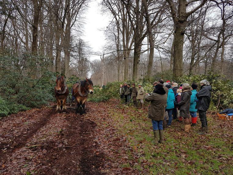 De trekpaarden aan het werk in de bossen van Bellem.