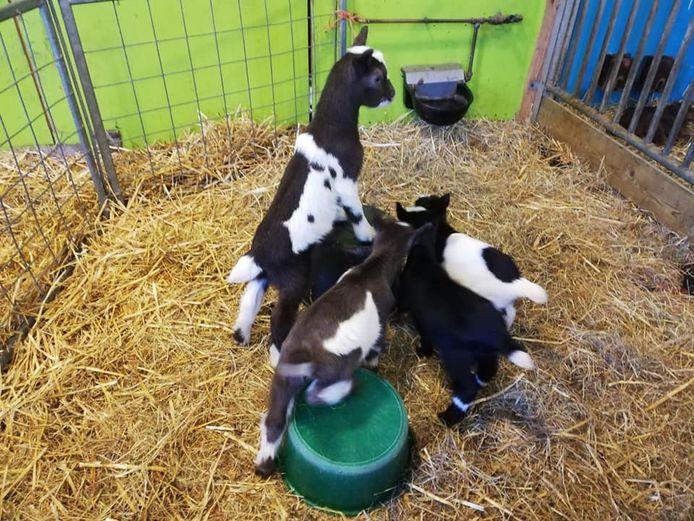 De geiten-vierling