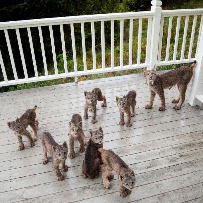 Moeder lynx vond het prima dat haar kinderen op de veranda van Tim Newton speelden.