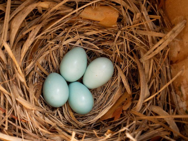 Nest van een bonte vliegenvanger. Beeld Herman Engbers