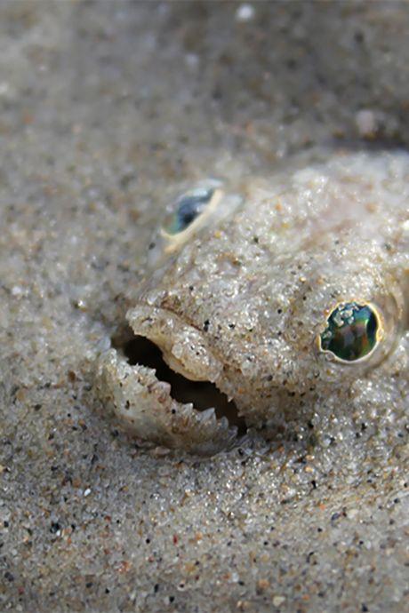 Pas op! Dit visje kan jouw stranddag flink vergallen