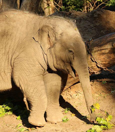 Antibiotica slaat aan: olifantje Thabo (3) aan beterende hand