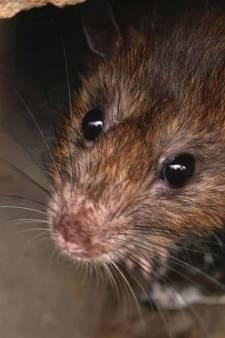 Rotterdammers klagen vaker over ratten in de stad (en dit is waarom)