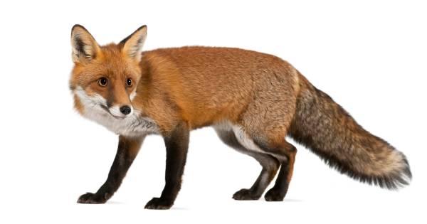 Mag de zeeuwse vos blijven of niet zeeuws nieuws - Clipart renard ...