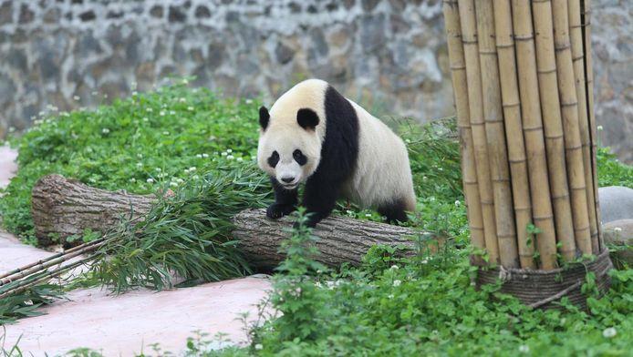 Wu Wen, één van de panda's in Ouwehands.