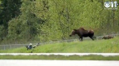 Opeens staat fietser oog in oog met kwade eland die kroost probeert te beschermen