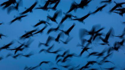 Kraanvogels trekken komende weken massaal naar het noorden. Lees hier waar je de (luidruchtige) vogels kan spotten