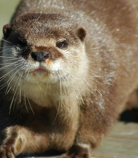 Otterpopulatie nauwelijks gegroeid