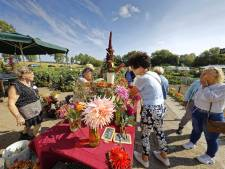 Dahliashow in Schijndel laat bloemen stralen: 'Sommige soorten hebben we zelfs opnieuw moeten planten'
