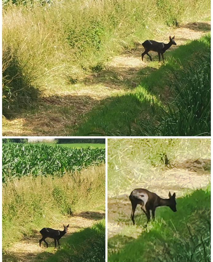 Zutphen- Op donderdag 25 juni is in het buitengebied van Zutphen, omgeving Lansinkweg en Hekkehorst een zeldzame zwarte ree gesignaleerd. Een geluks moment voor de fotograaf.