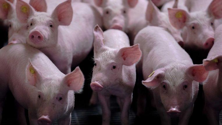 De stank bij zeugen en biggen valt mee. Maar bij vleesvarkens is er wel stankoverlast. Beeld ANP