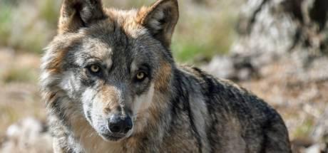 Duitsers schieten weer 'probleemwolf' dood