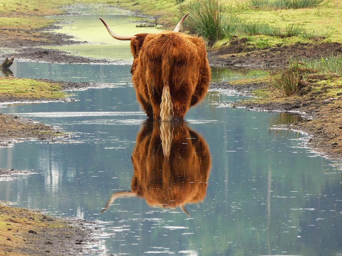 Een Schotse Hooglander bij natuurgebied het Beleven (foto ter illustratie).