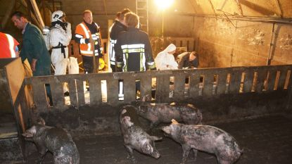 Roosters van varkensstal storten in: drie varkens overleden, drie gered door brandweer