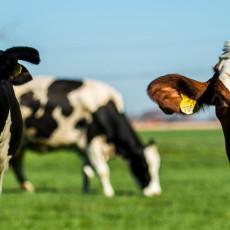 koeien-staan-te-vaak-in-de-stal-maar-in-noord-holland-komen-ze-w%C3%A9l-buiten