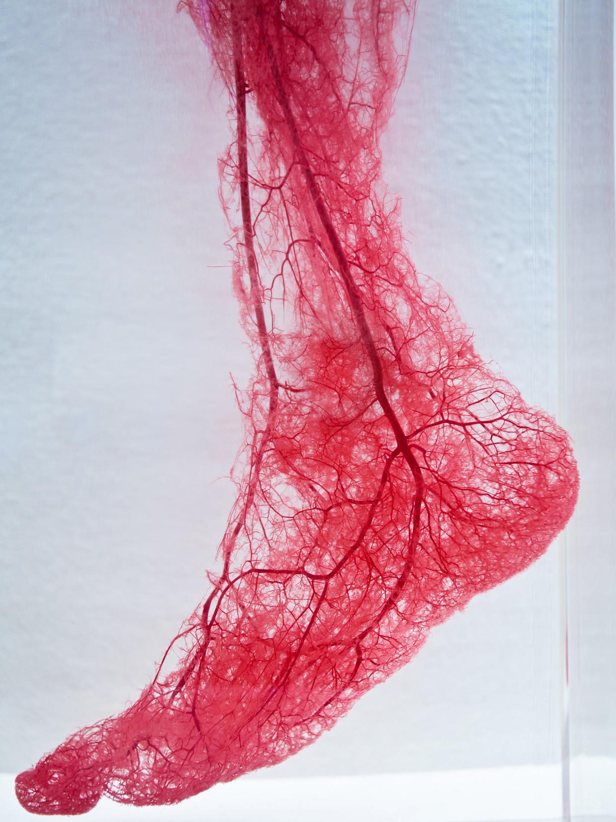 Bloedvaten in de voet.