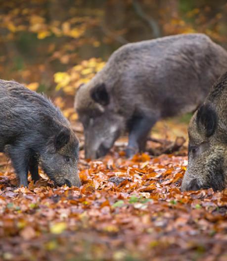 Hardloper en hond aangevallen door wilde zwijnen in natuurgebied Leenderheide