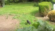 Hangbuikzwijntje laat zich al drie maanden niet vangen