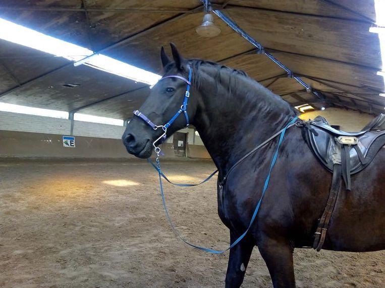 Het Friese paard 'Milleke'.