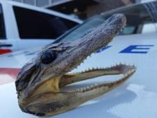 Bijzondere vondst voor dierenpolitie: kop van kaaiman in beslag genomen in Geldrop-Mierlo