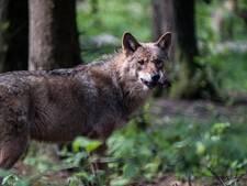 Nijmegenaar zegt wolf gezien te hebben in tuin