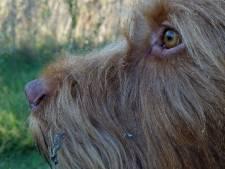 Angus (3) ziet gouverneurschap aan zijn hondenneus voorbij gaan