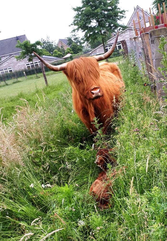 Hooglandertje in het hoge gras met de moeder op de Roosendaalse Landerije.