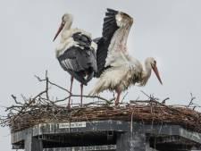 Nog maar 2 jonge ooievaars op live te volgen nest Gennep: 'Beelden best confronterend'