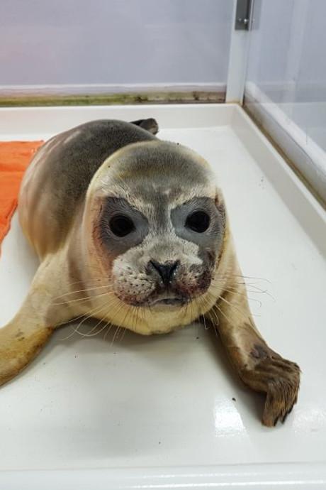 Gered zeehondje doodgeschoten