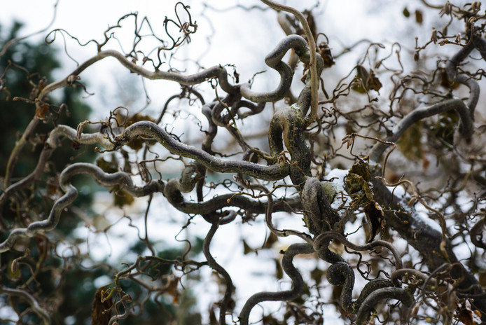De kronkelhazelaar ziet er in de winter interessant uit, maar met blaadjes eraan vindt Romke van de Kaa hem niet mooi.