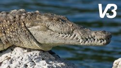 VIRAL3: kleine heldhaftige hond jaagt krokodil de stuipen op het lijf