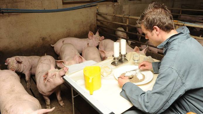 Aan de prestart. Maar volgens de varkens is ook het tafelkleed prima te pruimen. foto: Ed van Alem