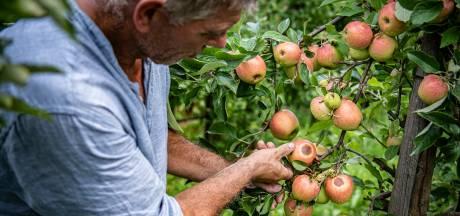 De eerste regendruppels na extreme hitte: blijer kun je een Maas en Waals fruitteler niet maken