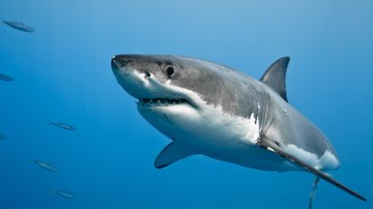 """Man botst tijdens het zwemmen per ongeluk tegen haai: """"Ik bleef hem slaan tot hij me losliet"""""""