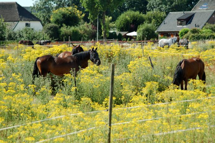 Paarden in de prachtige omgeving van Herveld.