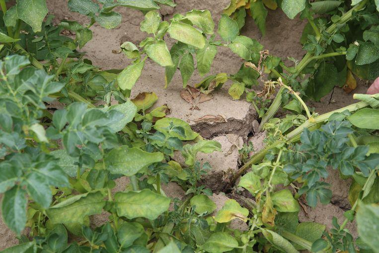 De droogte zorgde voor schade aan de gewassen.