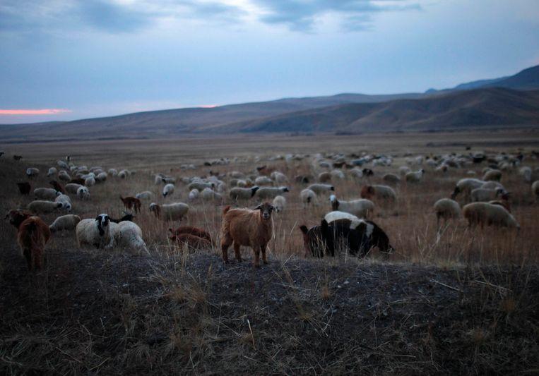 Vee van nomaden grazen op de steppe van Mongolië. Beeld reuters