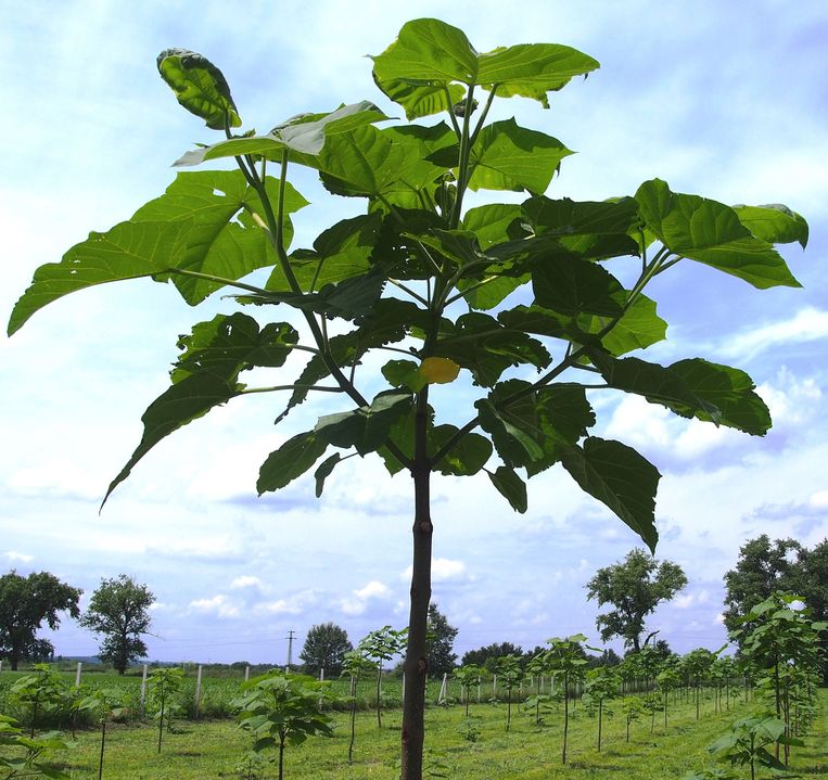 De oxytree kan enorm veel CO2 opnemen.  Beeld