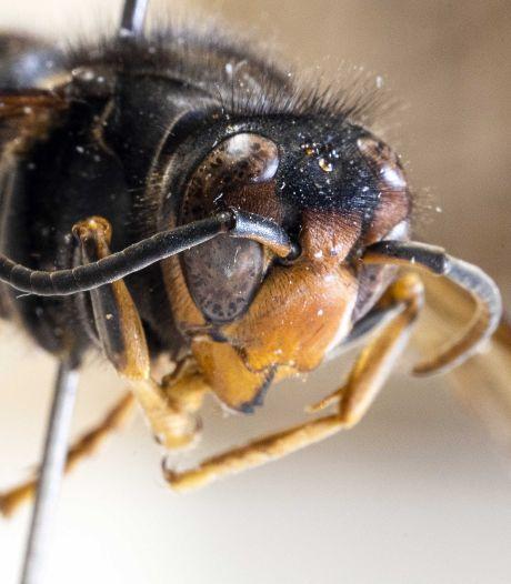 Drone vindt nest Aziatische hoornaar hoog in een boom in Veenendaal