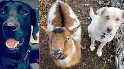 Het ongelofelijke moment waarop vermiste labrador opnieuw zijn weg vindt naar huis met in zijn kielzog twee nieuwe vriendjes (een hond en een geit)